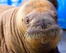 В Крыму живет морж, который весит больше автомобиля