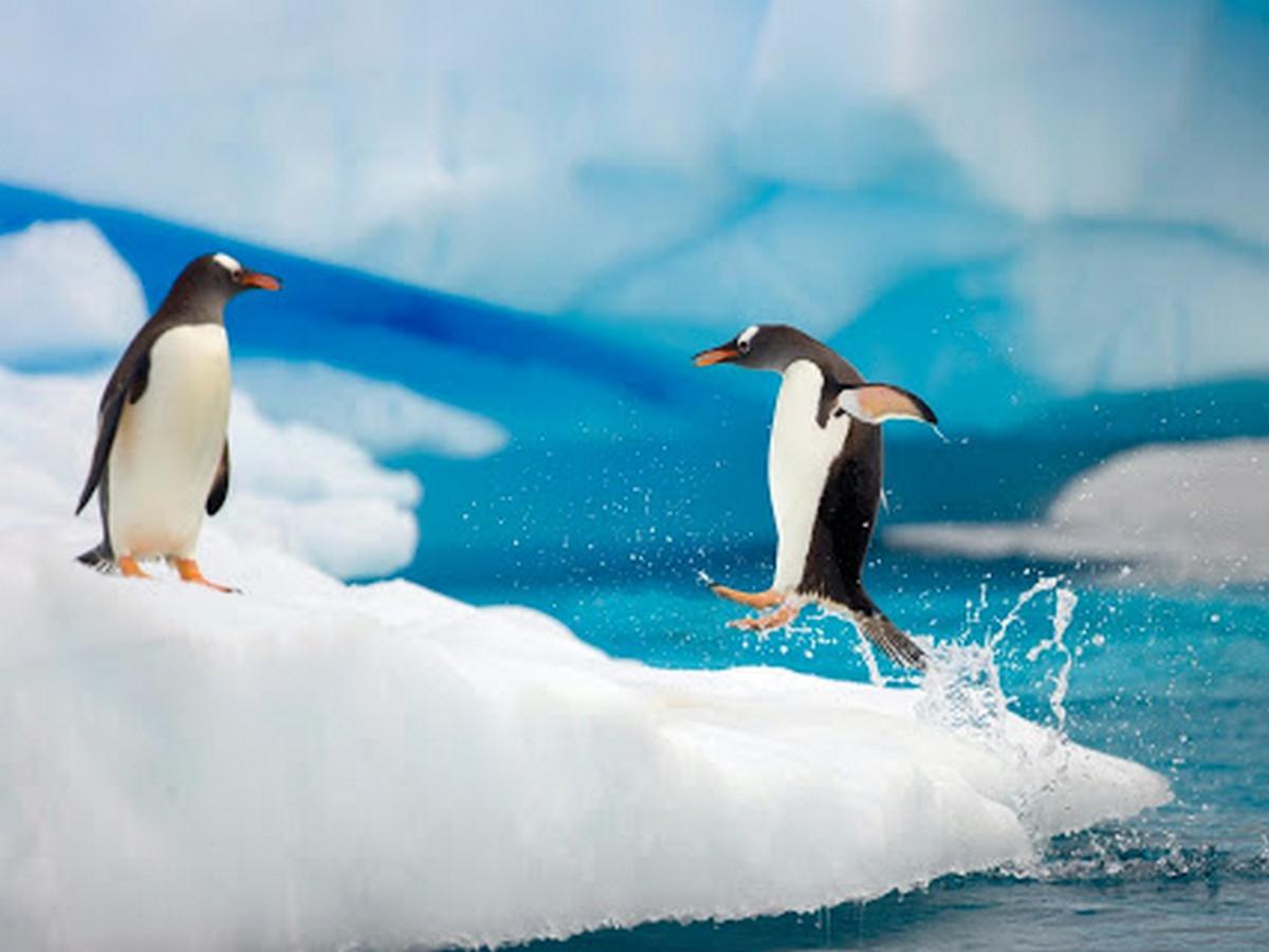 Два пингвина, не поделившие льдину, попали на видео