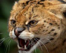 Сервал, напугавший гепарда, попал на видео и собрал около 350 тыс. просмотров