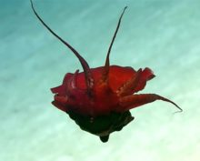 Ученые сняли на видео неизвестное науке глубоководное существо