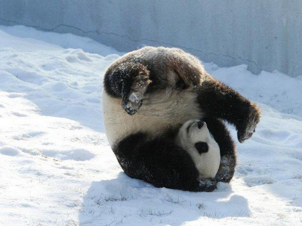 В Сети набирает популярность панда, катающаяся с горки в Московском зоопарке