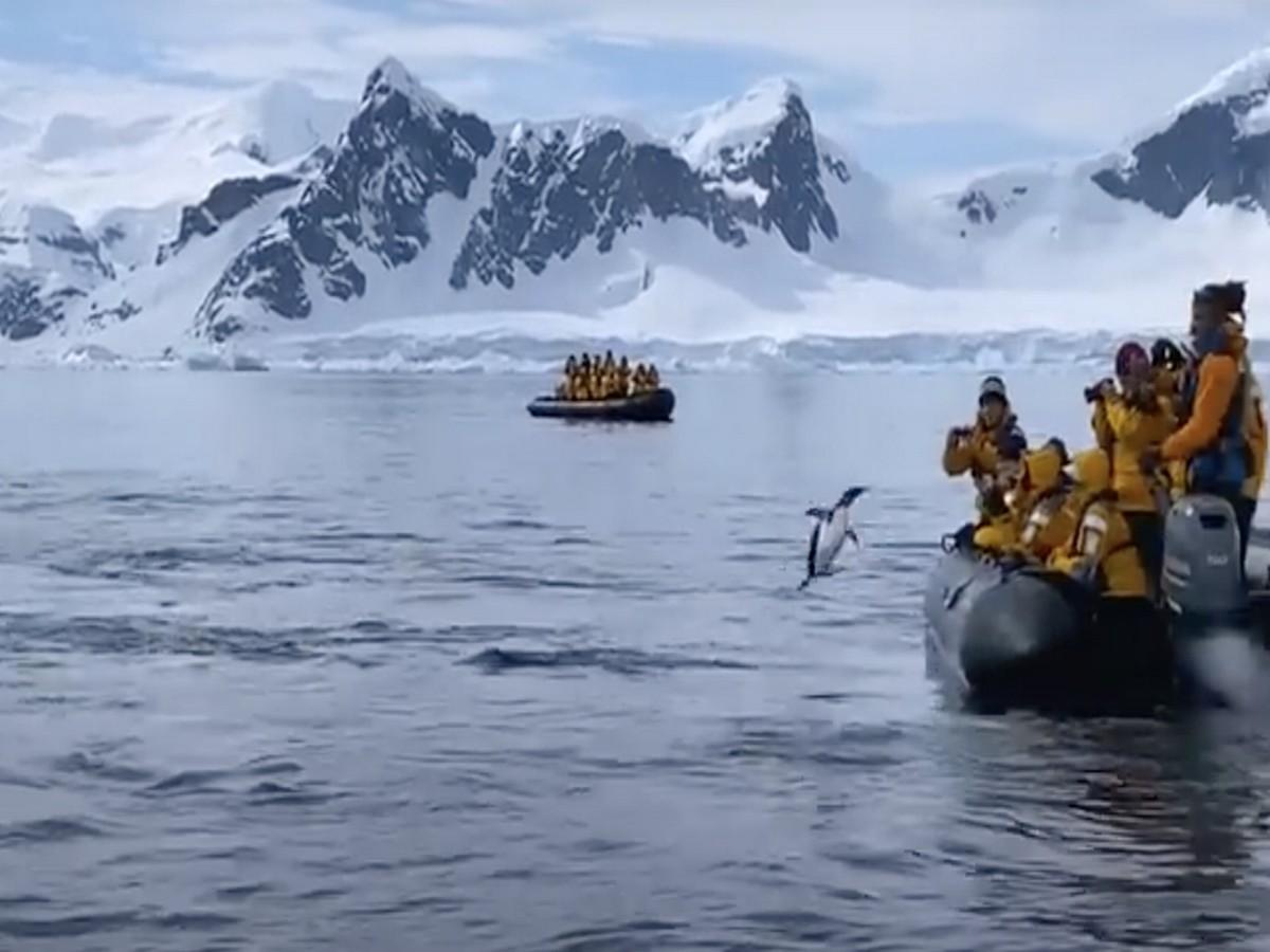 Пингвин спасся от косаток, благодаря туристам и собственной смекалке