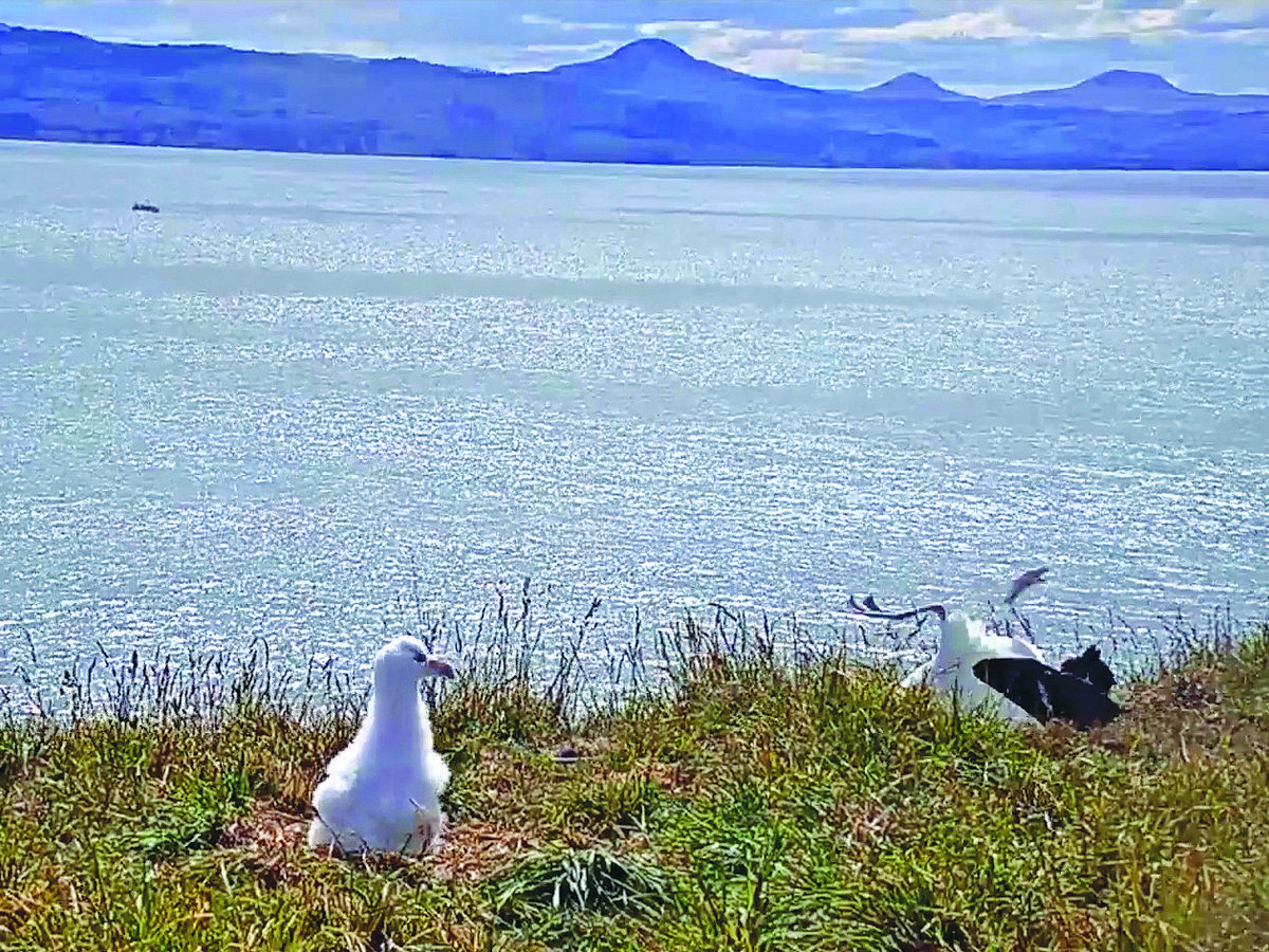 В Сети завирусилось видео неуклюжего альбатроса, приземлившегося