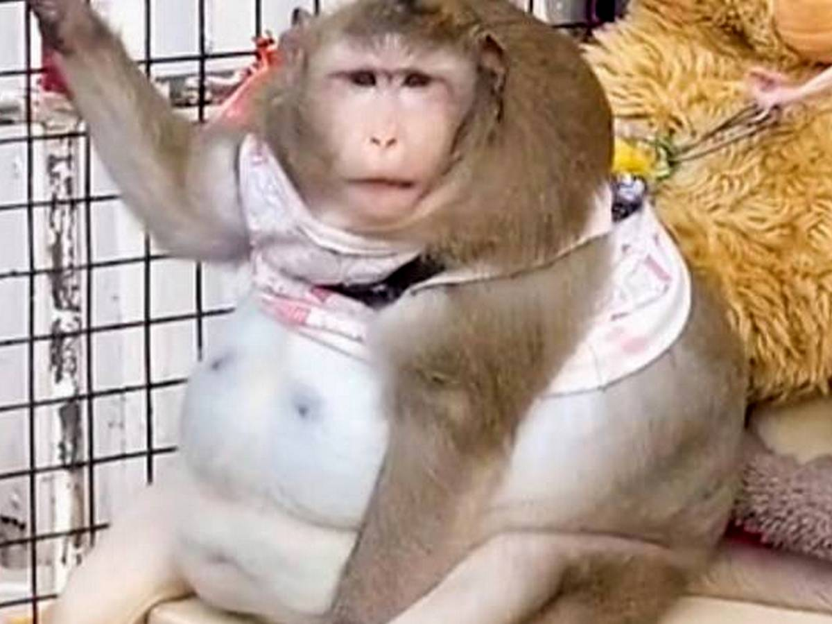 В Тайланде ожиревшую обезьяну посадили на диету