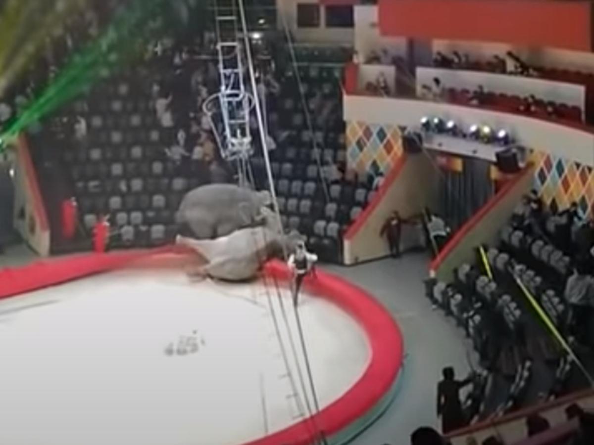 Слоны подрались в цирке