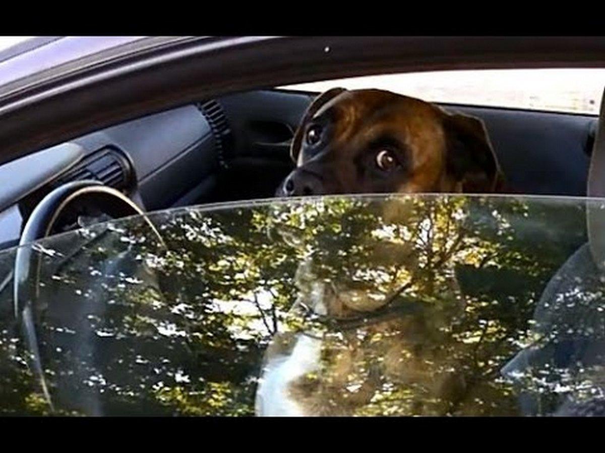 Собака за рулем автомобиля набирает просмотры в соцсетях