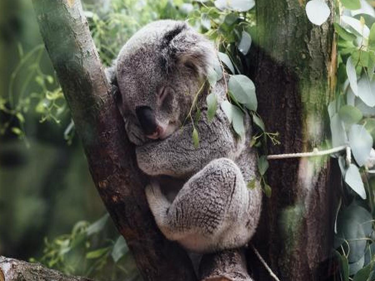 Самая старая коала стала героиней Книги рекордов Гиннесса
