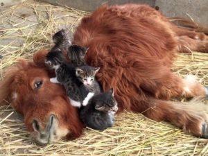 В Сети завирусилось видео с котятами, которые подружились с теленком