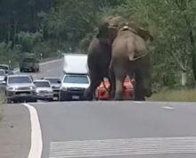Слоновья потасовка парализовала движение на шоссе