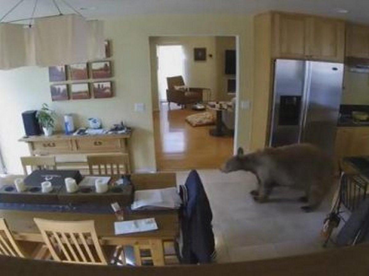 Маленькие собачки выгнали медведя из дома