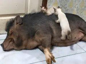 В Сети завирусилось видео с котятами, оседлавшими свинью
