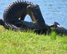 Аллигатор снял на видео драку аллигаторов у своего дома