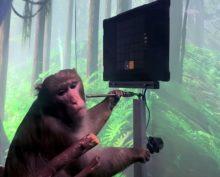 Обезьянка, играющая в Pong силой мысли, собрала 4,6 млн просмотров в YouTube