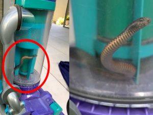 Женщина поймала ядовитую змею пылесосом
