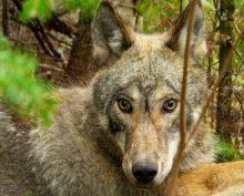 Исследователи опубликовали видео, снятое камерой с ошейника волка