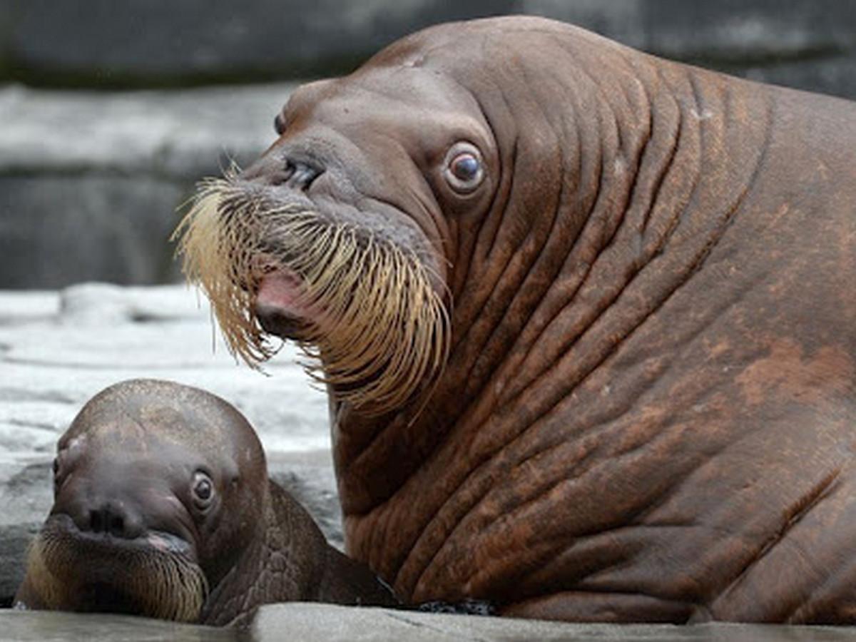 Шутку зоозащитников о моржах, которые двигаются на юг, некоторые приняли за чистую монету