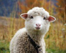 Интернет-пользователи обсуждают видео с невезучей овцой