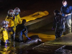 В Лондоне спасают кита, застрявшего в шлюзе на Темзе