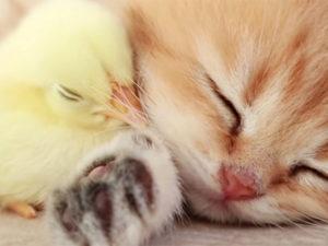 Мимимишное видео с котенком и цыпленком собрало около 50 млн просмотров