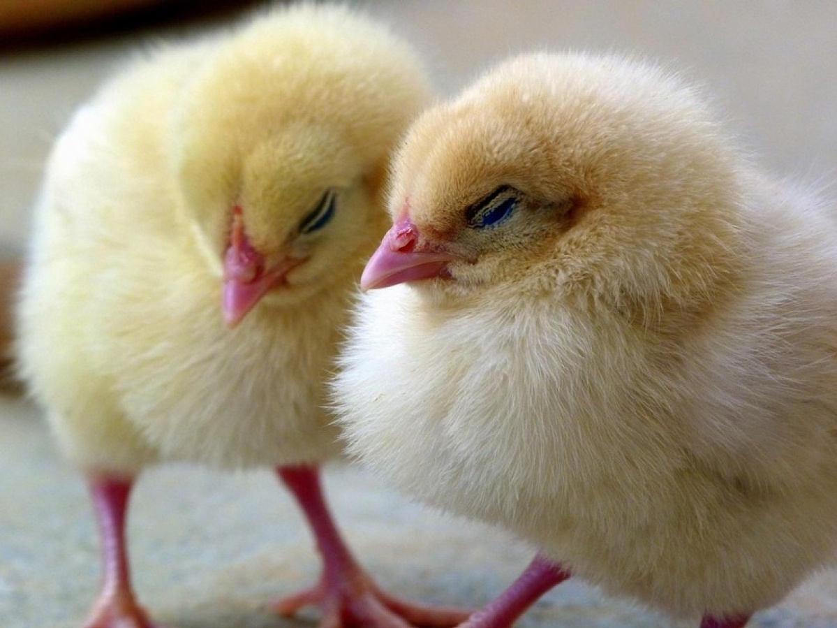 Цыпленок за прививку: власти Индонезии стимулируют вакцинацию жителей