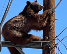 В США сняли на видео медведя, застрявшего на линии электропередач