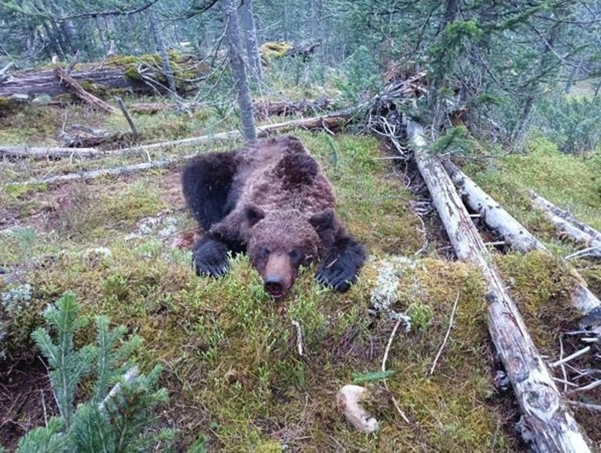 «Я смирился со смертью»: красноярский турист рассказал, как выжил после нападения медведя-людоеда
