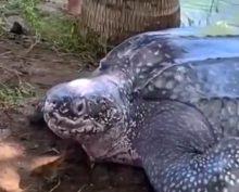 Спасение гигантской черепахи сняли на видео