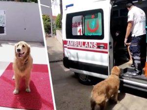 В Сети обсуждают пса, проводившего хозяина в больницу
