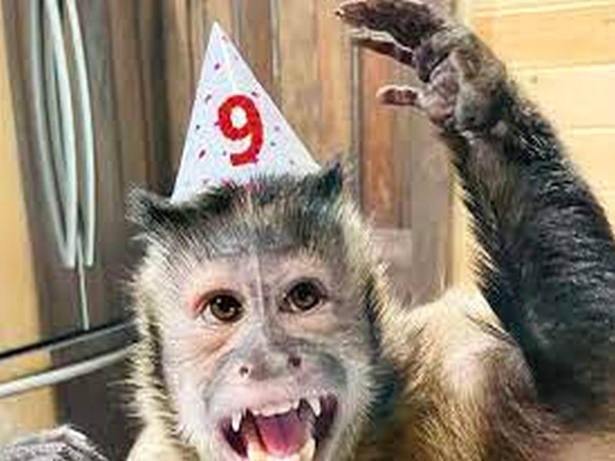 Снимающая стресс обезьянка стала интернет-звездой