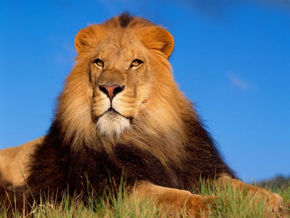 Власти Камбоджи изъяли у хозяина домашнего льва