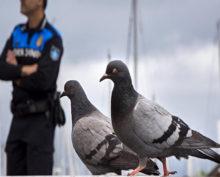 Голуби обьявили охоту на гобелены Рафаэля