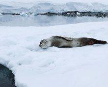В Сети завирусилось видео с чихающим тюленем