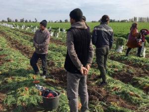 мигранты на плантациях