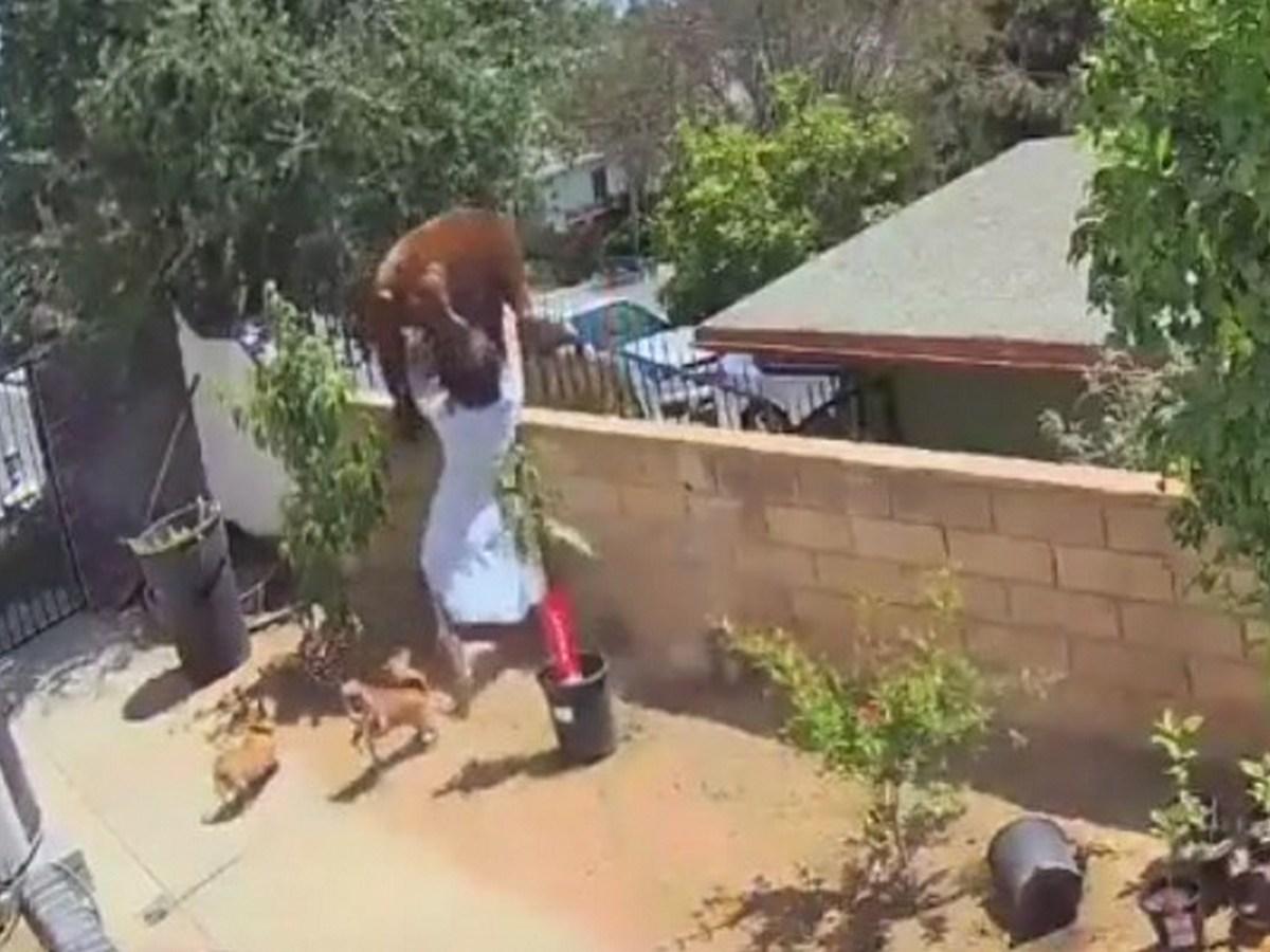 Женщина напугала медведя, спасая любимых собак