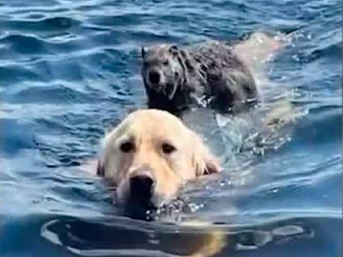 Сурок оседлал собаку и переплыл на ней на другой берег