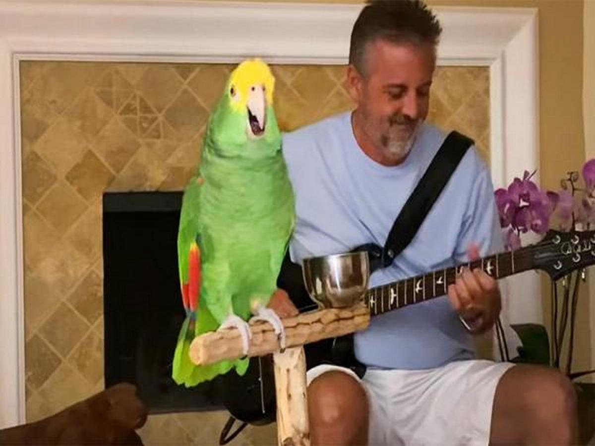 Попугай Тико со своим хозяином «перепел» хиты рок-групп и стал звездой