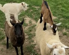 На ферме козлята решили прокатиться на овце