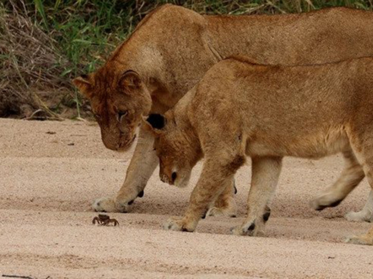 Маленький краб дал отпор львиному прайду