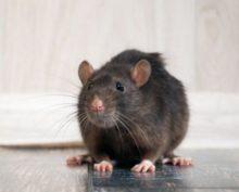 Крыса распугала чиновников на заседании парламента в Андалусии