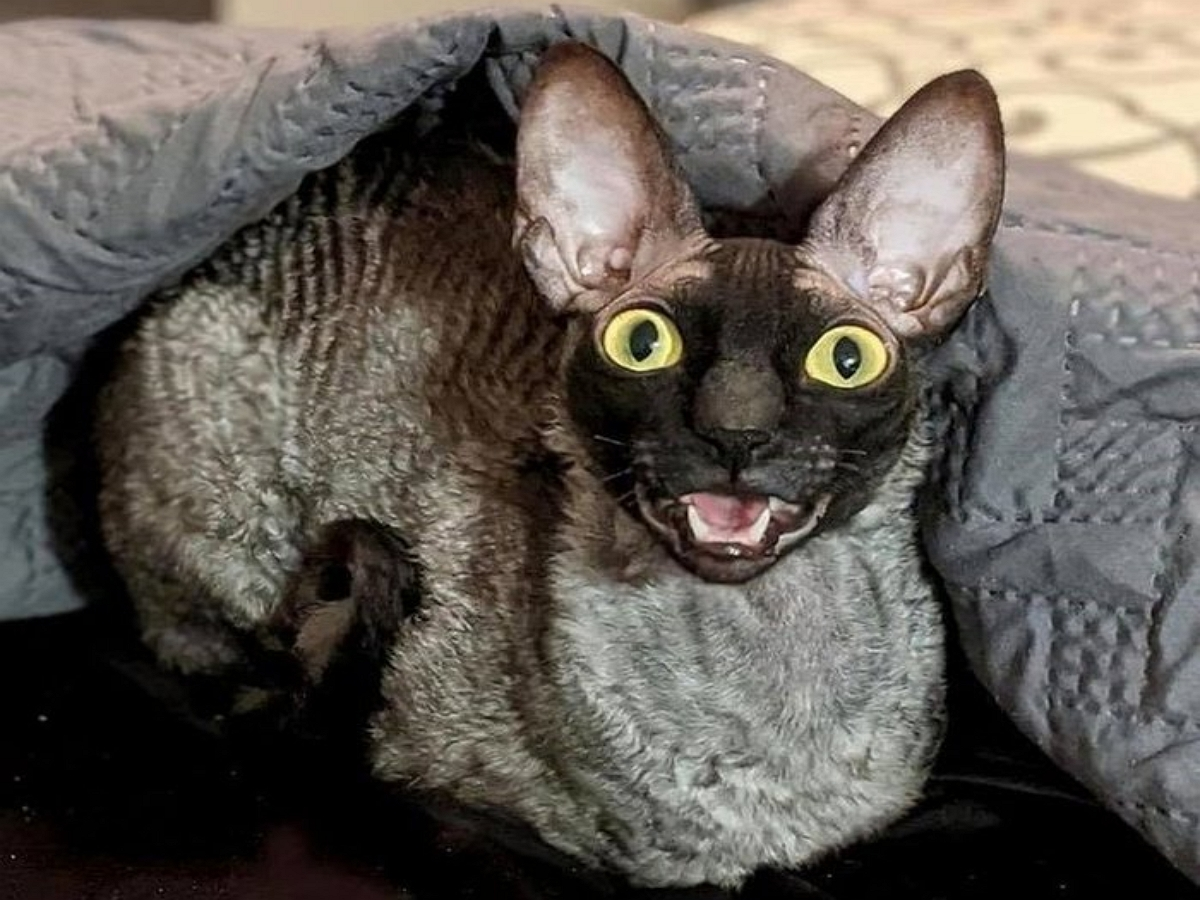 Американский кот Пиксель, с клыками наружу, похож на Дракулу