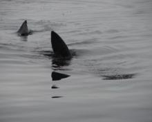 Акулы на пляже Ирландии напугали отдыхающих