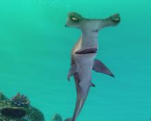 На пляже Панама-Сити рыба спряталась за человека, спасаясь от акулы
