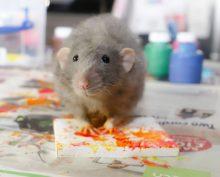 Домашние крысы пишут картины, которые неплохо продаются