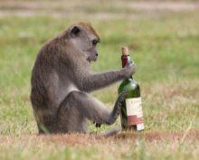 Макака-алкоголик проникла в винный магазин и напилась