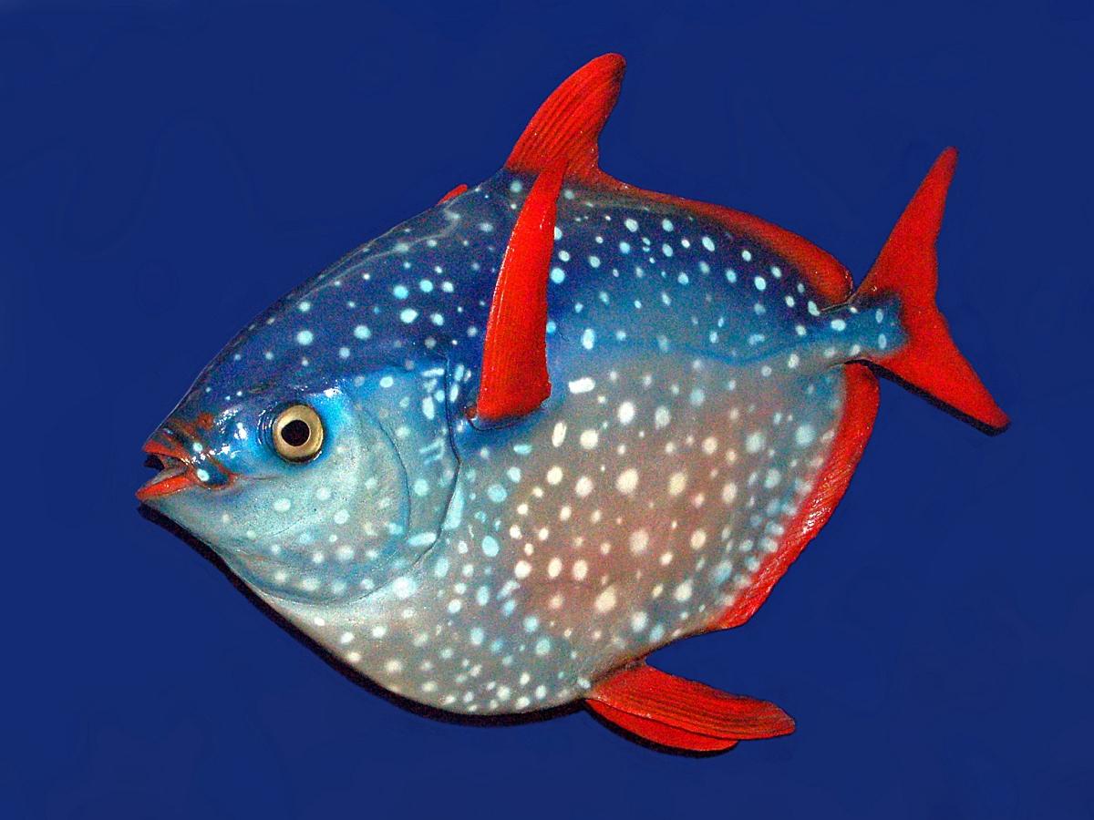 Лунную рыбу весом в 45 кг нашли в Орегоне