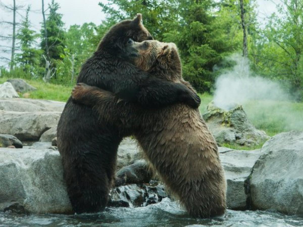 Два медведя выяснили отношения посреди трассы в Ямало-Ненецком округе