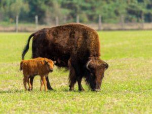 Маленький бизон самостоятельно преодолел гору, завоевав симпатию пользователей