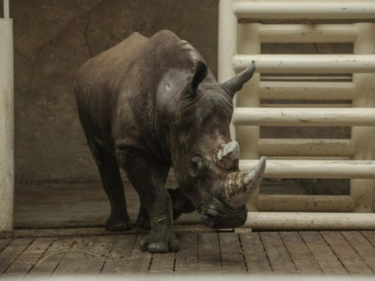 Тиктокеру, сделавшему сальто в вольере с носорогами, грозит срок