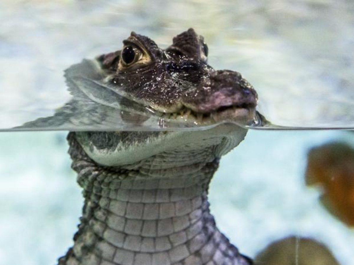 Прогуливающийся по индийской деревне крокодил попал на видео
