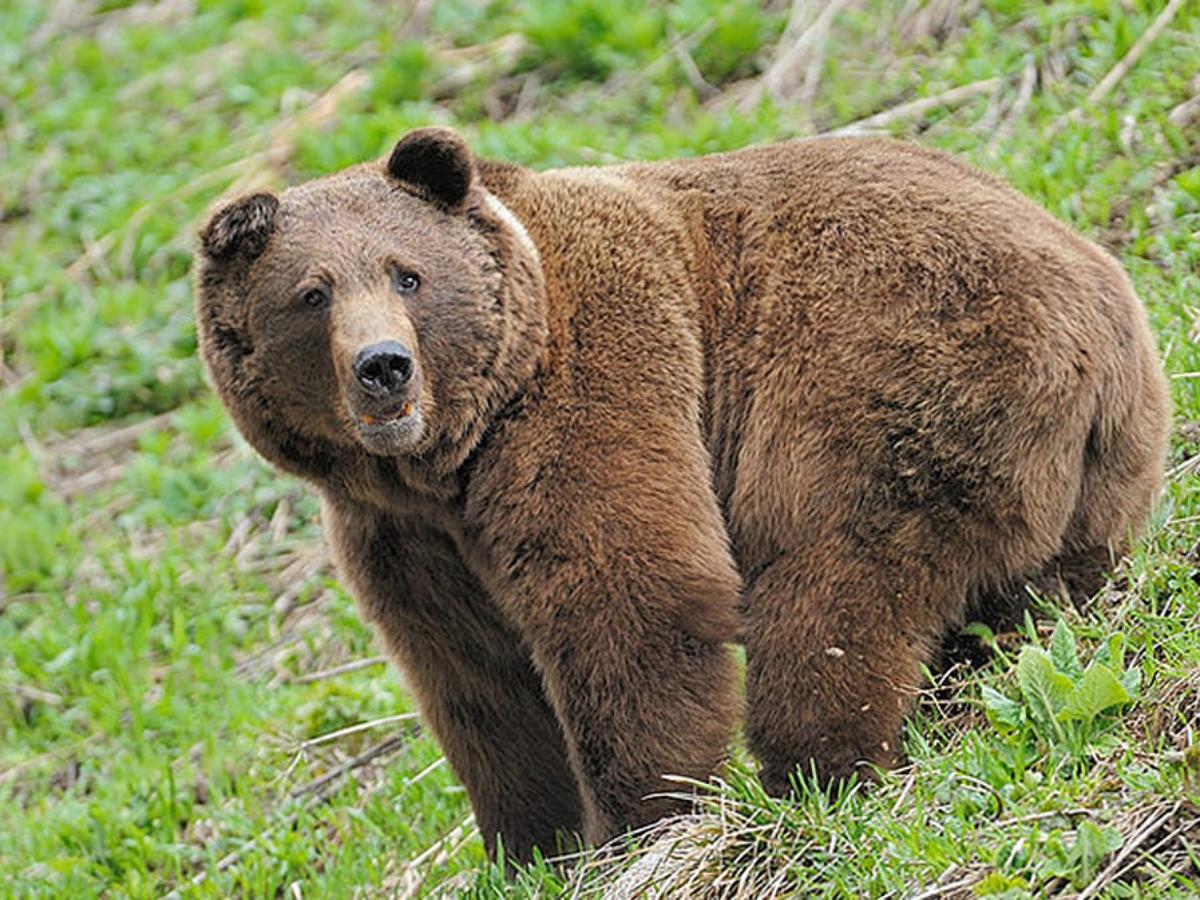 Медведь, уничтожающий камеры в алтайском заповеднике, попал в фотоловушку